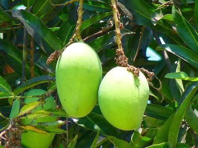 manfaat buah mangga dan khasiat buah mangga bagi kesehatan