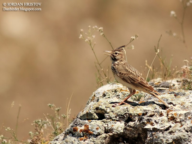 Crested Lark photography in Bulgaria