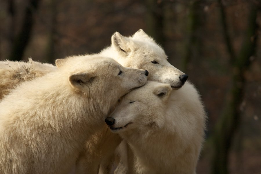 Love Wallpapers Pack : White Wolf : Video : Arctic White Wolves in the Wild