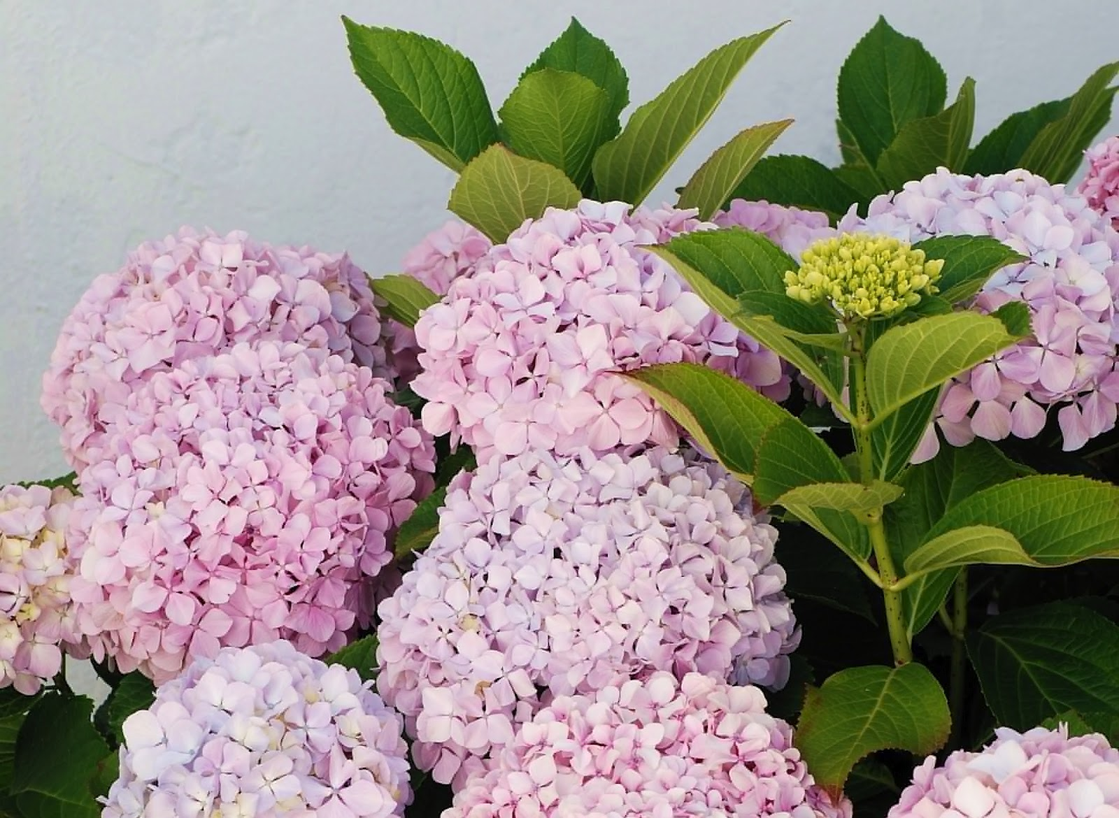 Hydrangea popular ornamental plants kinds of for Ornamental garden plants