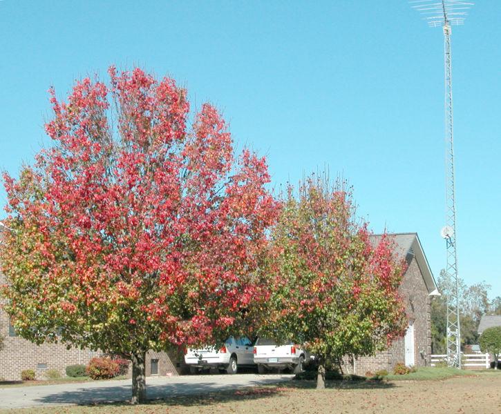 how tall is bradford tree