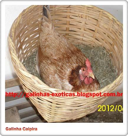 chácara sagrada família criação de galinhas galinha choca