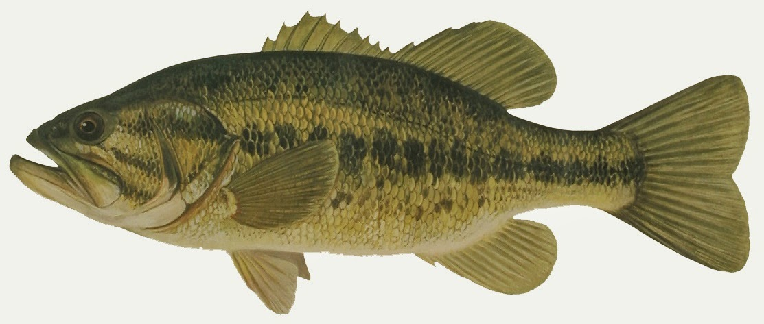 Take it outside fish iowa iowa fish species for Bass fish pictures