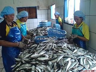 ikan lagi proses pengalengan