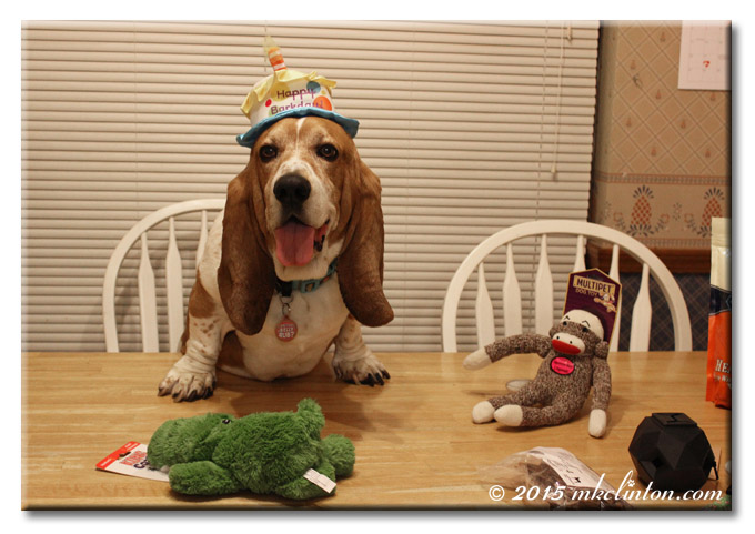 Bentley Basset smiling in his birthday hat.