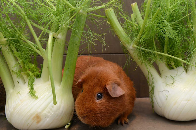 fennel guinea pig