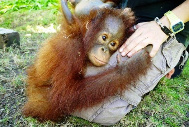 #12. An orphaned baby orangutan found someone to take care of her. - 24 Happy Animal Photos Made Possible By The People Who Saved Them.