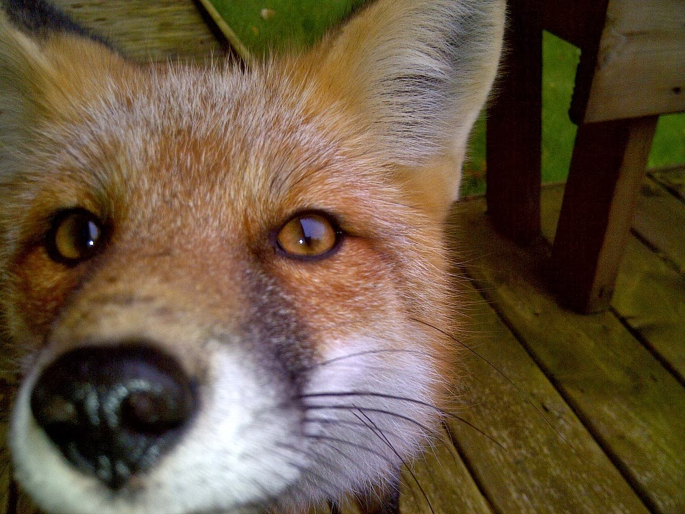 Wild Fox Close Up