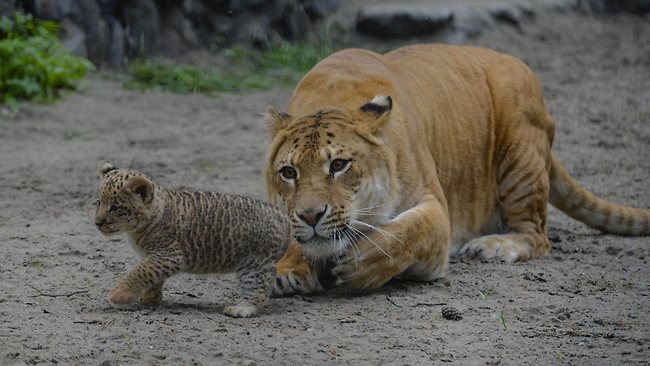White Wolf : Three liliger cubs born to liger mom (Photos ...  White Liger Cubs