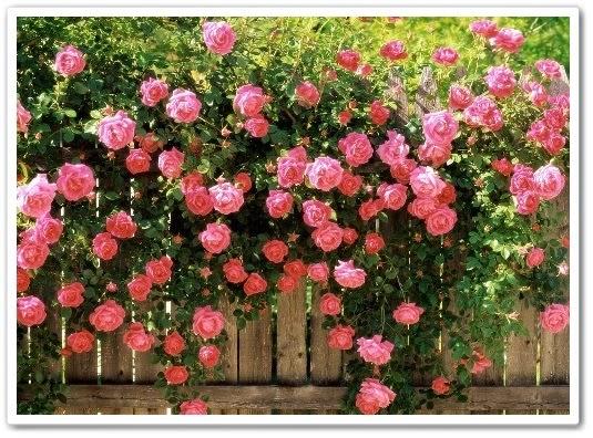 видео урок Как вырастить красивые розы без лишних затрат