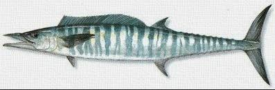 Profil Ikan Tenggiri Sang Predator