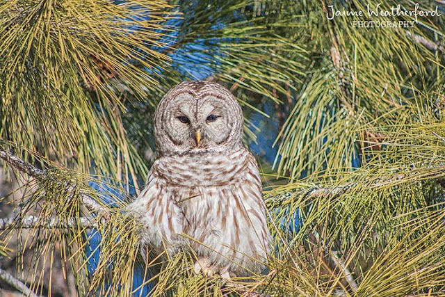 Ollie the Owl barred owl farewell bend park Bend oregon Jaime Weatherford