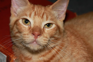 Autolycus Cat, Fat Orange Kitten