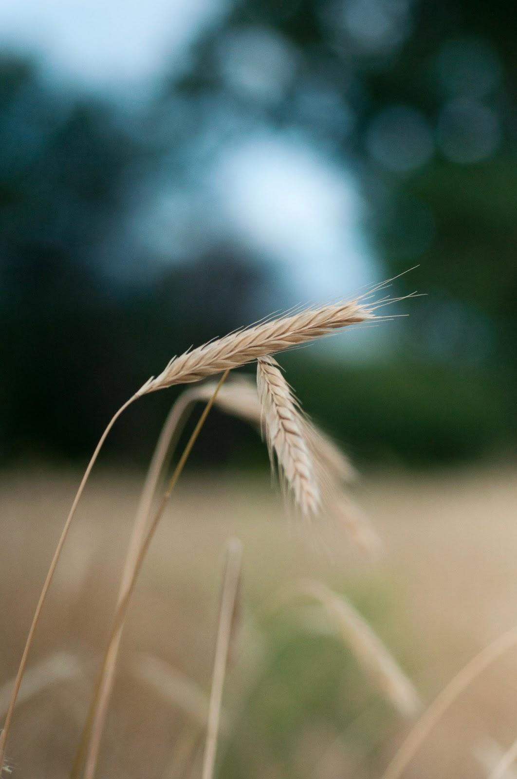 grain, weeds, utah,  scenery, utah outdoors