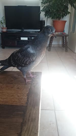fille cherche pigeon Champigny-sur-Marne