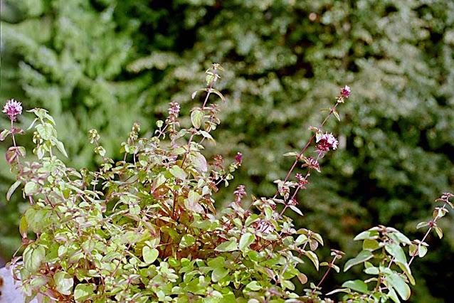 Masa arbustiva de orégano en un jardín