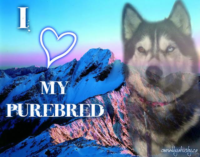I love my purebred Siberian Husky