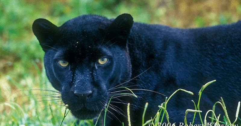 Black Leopard-Panther | The Wildlife Leopard Cubs With Mother