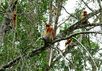 Bekantan Kaget Island Barito Kuala South Kalimantan, Bekantan, proboscis monkey, Nasalis larvatus, long nose monkeys