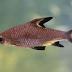 Mengenal Ikan Balasak (Terancam Punah)