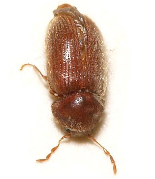 Do Carpet Beetles Cause Rashes Carpet Vidalondon