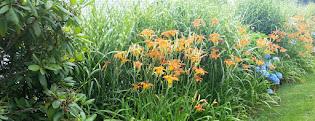 Orange day lillies...
