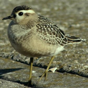DOTTEREL-LEASOWE-11TH SEPTEMBER 2004