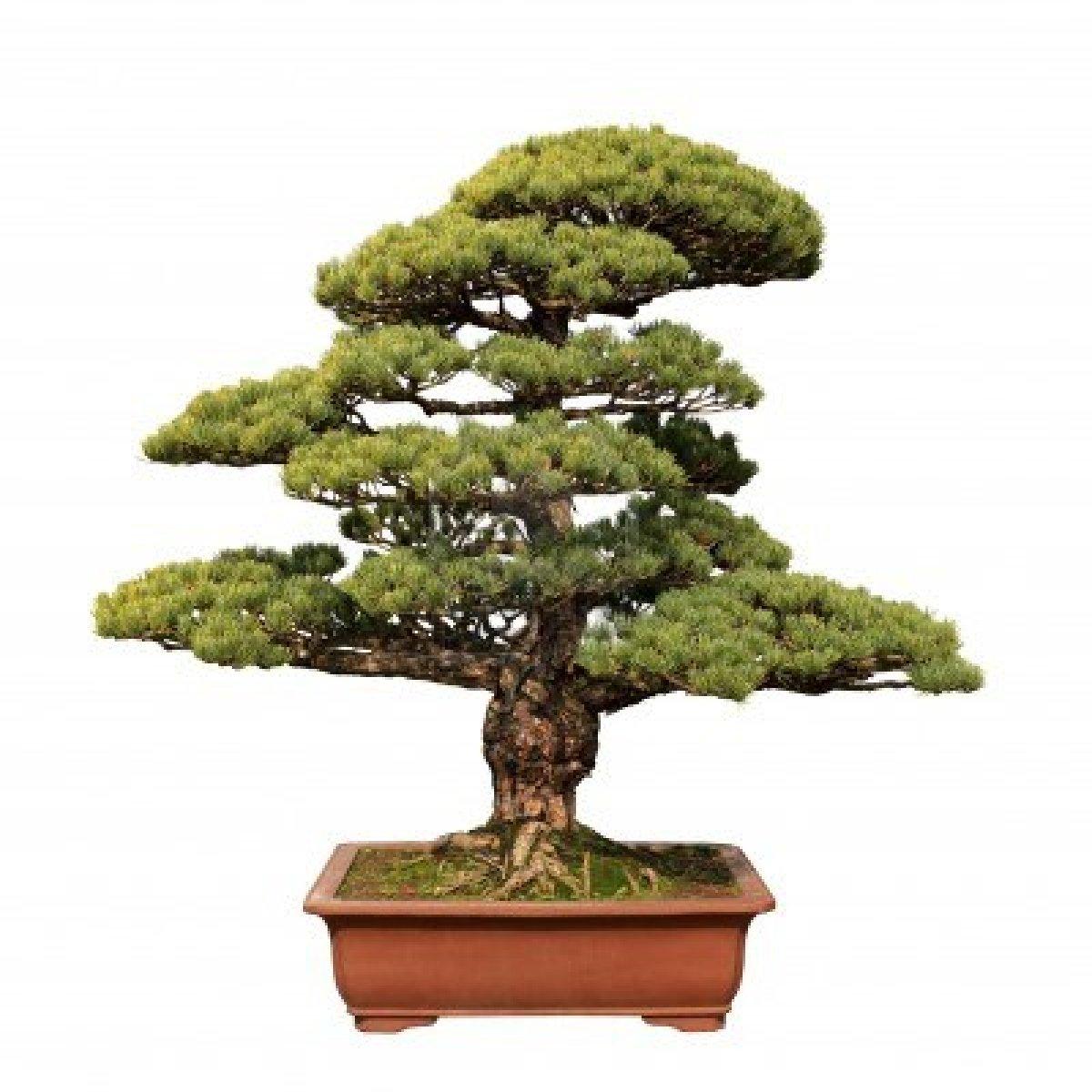 All hd bonsai for Bonsai da interno