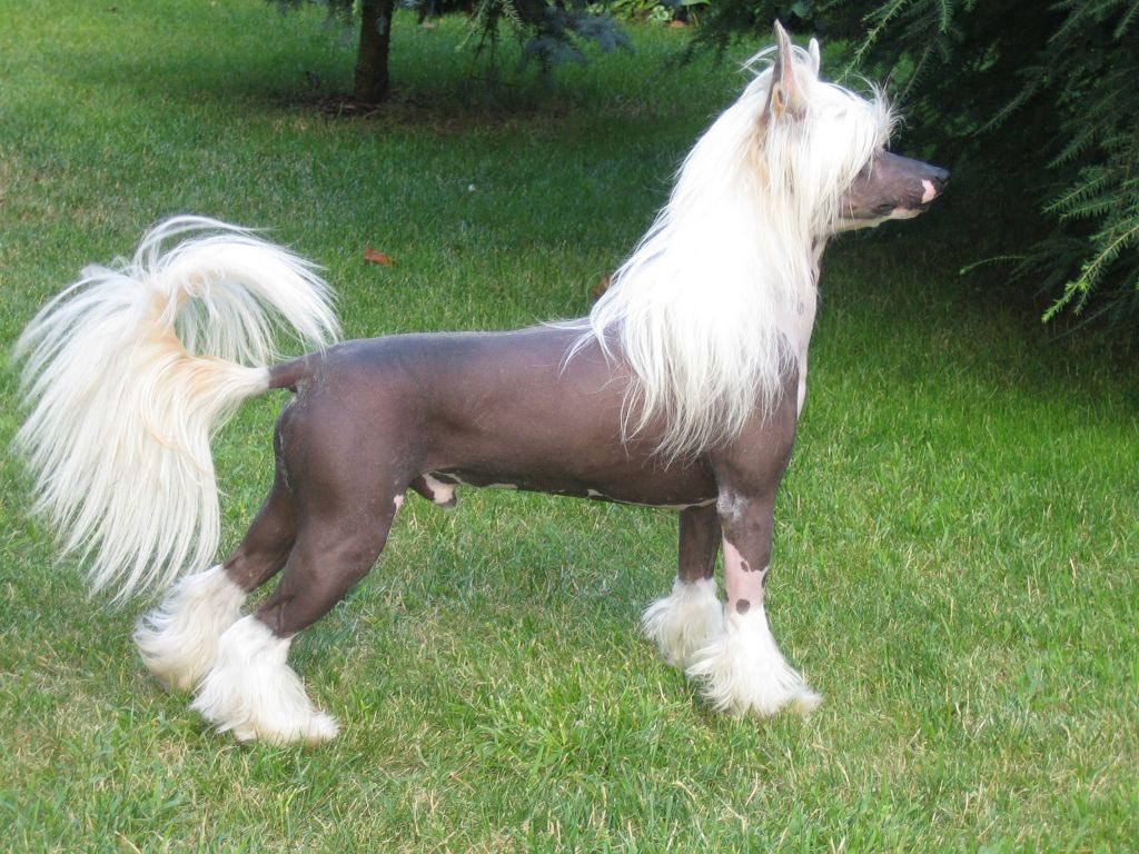 Chinese Crested (Dog) Discussion ~ Bullcatdog
