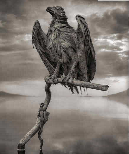 Calcified fish eagle.