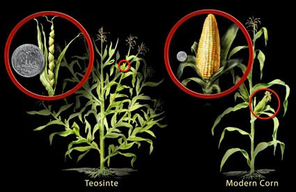 nenek moyang jagung