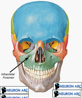 Indications and Technique of the Infraorbital Nerve Block