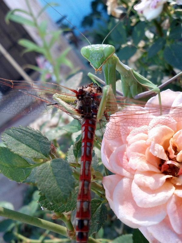 mantis eating a dragon fly head
