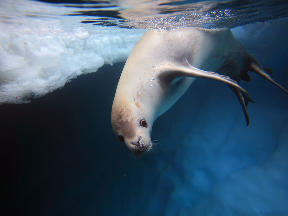 Cool Animals Pictures: Cute Seal Photos
