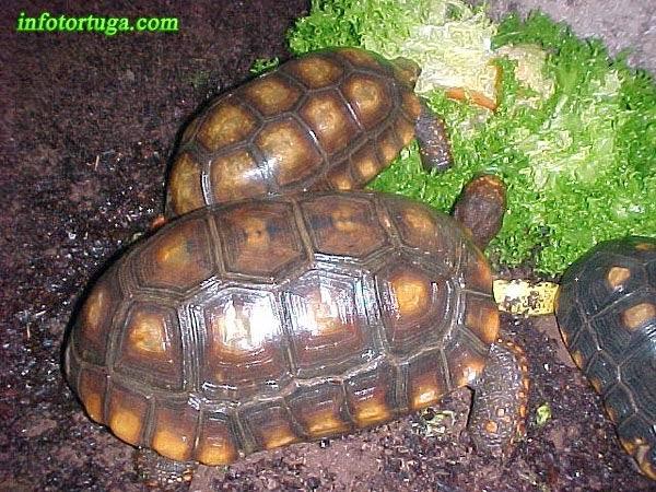 Chelonoidis denticulata - Tortuga de patas amarillas