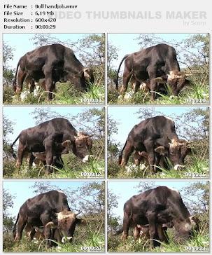 01.11.11 / ВИДЕО: Bull handjob (7 MB)