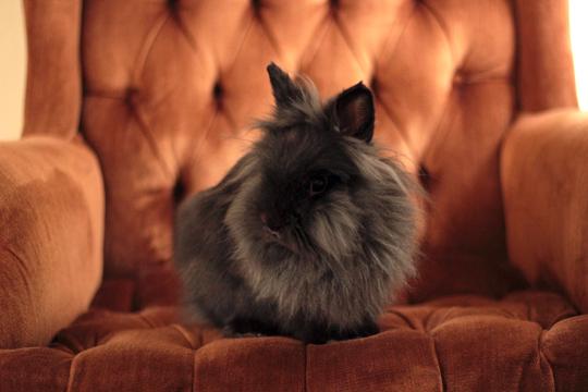 lionhead bunny pet