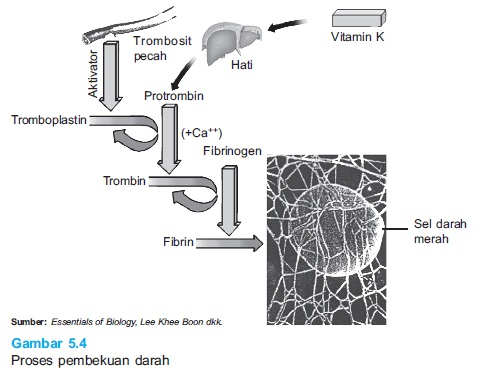 Materi pelajaran sma sentra edukasi pengertian jumlah fungsi enzim ini berperan dalam proses pembekuan darah proses pembekuan darah dapat anda amati pada gambar 54 berikut ccuart Images