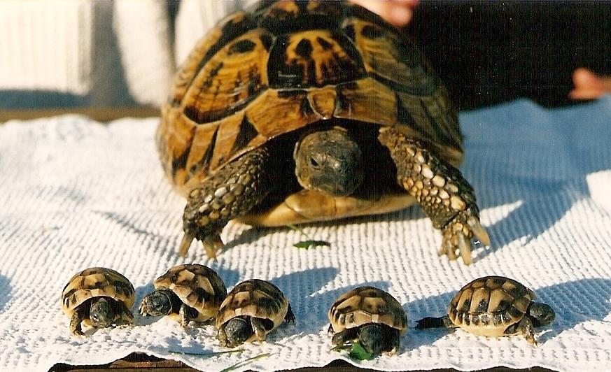 Kleiner Kühlschrank Für Schildkröten : Johanna m.: die griechische landschildkröte