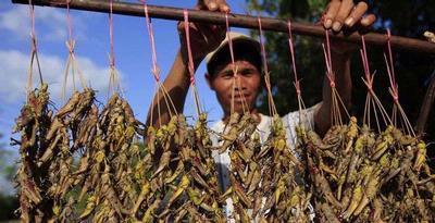 penjual belalang kayu