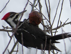 Pileated Woodpecker, female, feeding on apple.