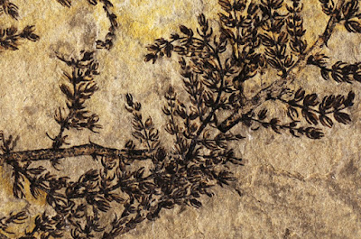 Montsechia vidalii