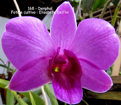 Denphal - Orquídea híbrida do blogdabeteorquideas