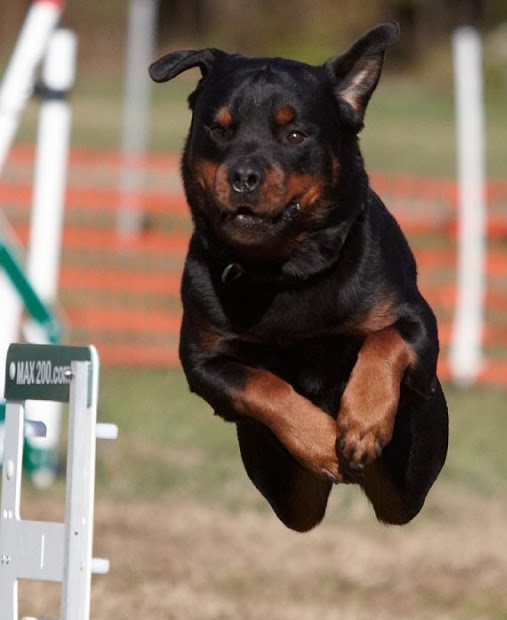 How fast a Rottweiler can run?