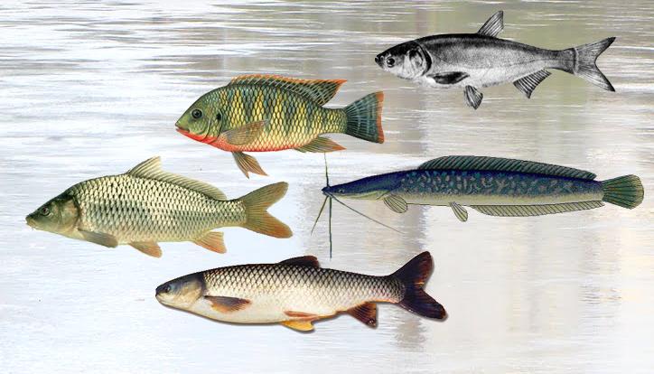 A lupa do kuni invas o estrangeira no rio itaja a for Carpa de rio