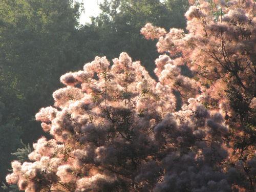 smoke tree in sun