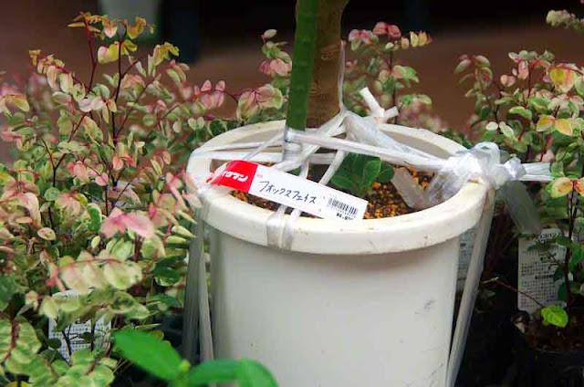 Fox Face plant, label,Japanese