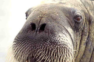 An old bull walrus, one of the hundreds of winsome and wacky sea animals protected under the Marine Mammal Protection Act. New UVM research shows that 40 years after it was passed, the law works. Credit: : Ansgar Walk, 1999, via Wikimedia Commons