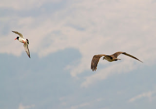 Osprey and oyster catcher over Loch Scridain