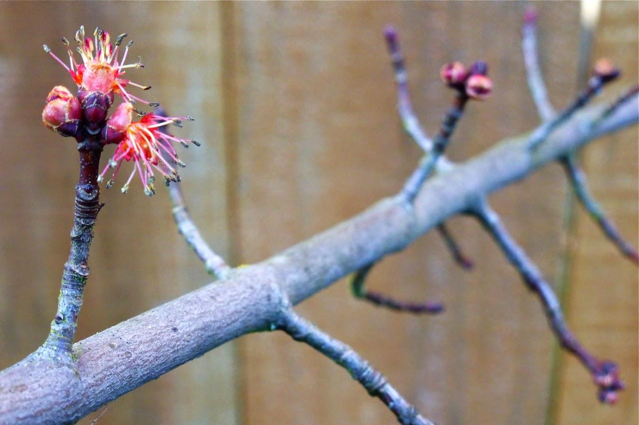 spring garden, maple tree flowers, maple tree flowering, tree flowering, tree flowers
